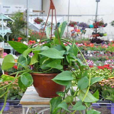 צמחים המתאימים לגידול ביתי