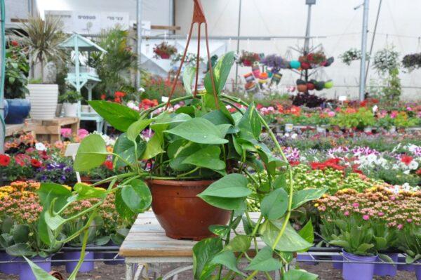 פוטוס | צמחים מתאימים לגידול ביתי
