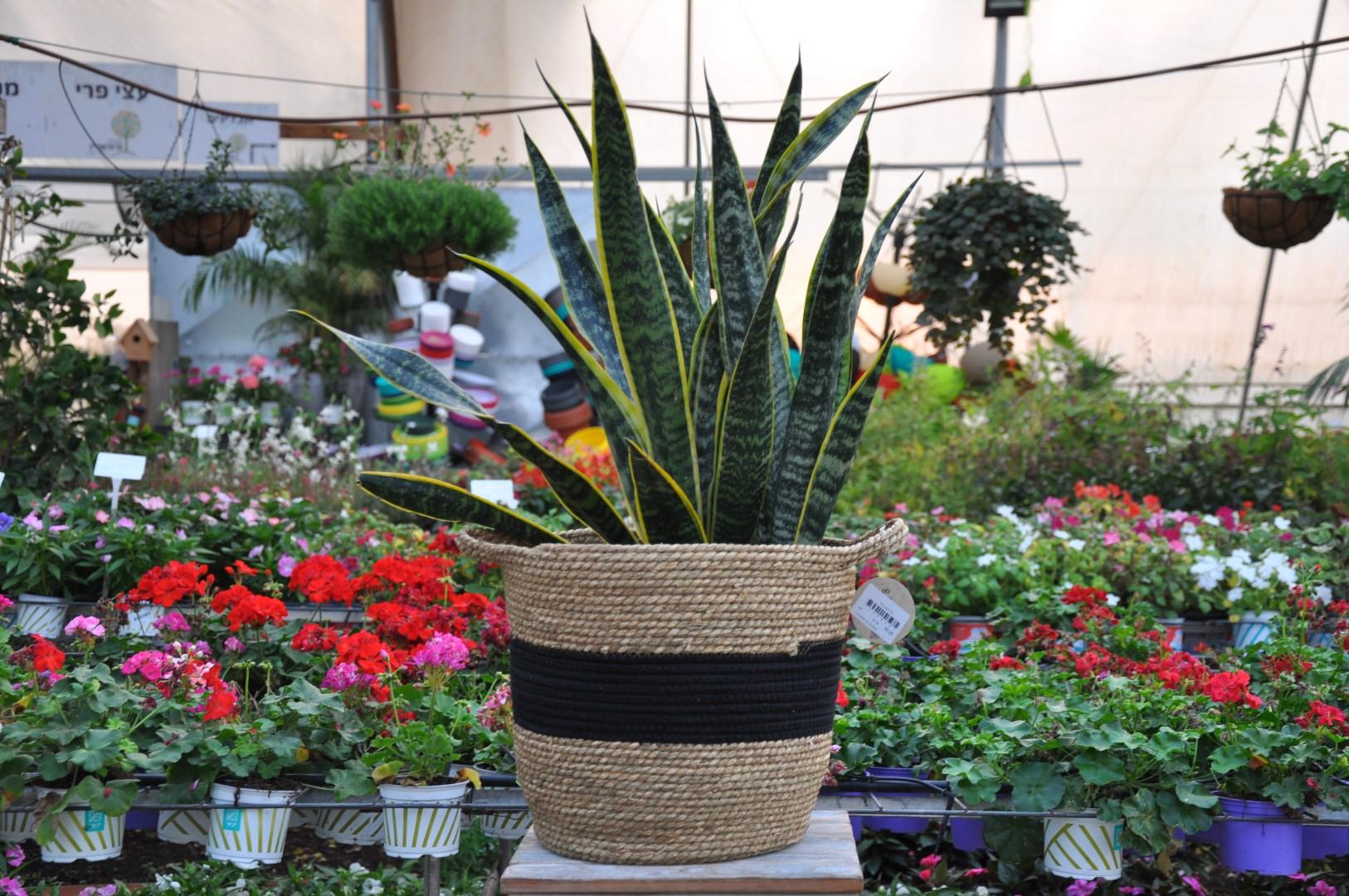 צמחי בית ומשרד- משתלת מרמלשטיין