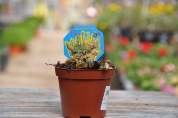 צמח טורף - משתלה בשפלה