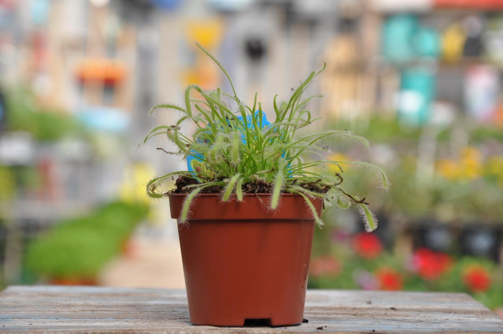 צמח טורף - משתלה ביבנה