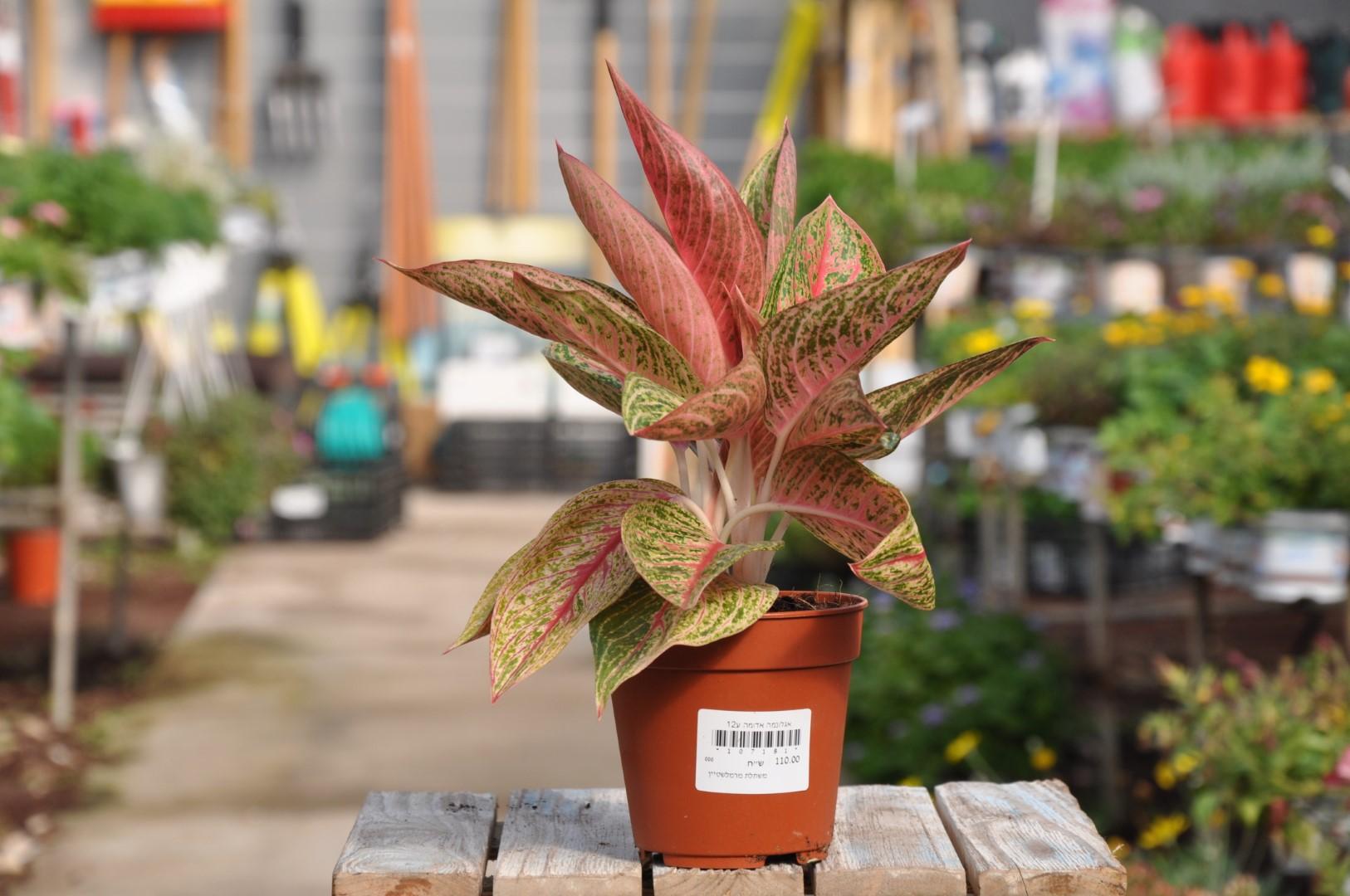 אגלונמה אדומה. צמח לבית. אדום.משתלת מרמלשטיין