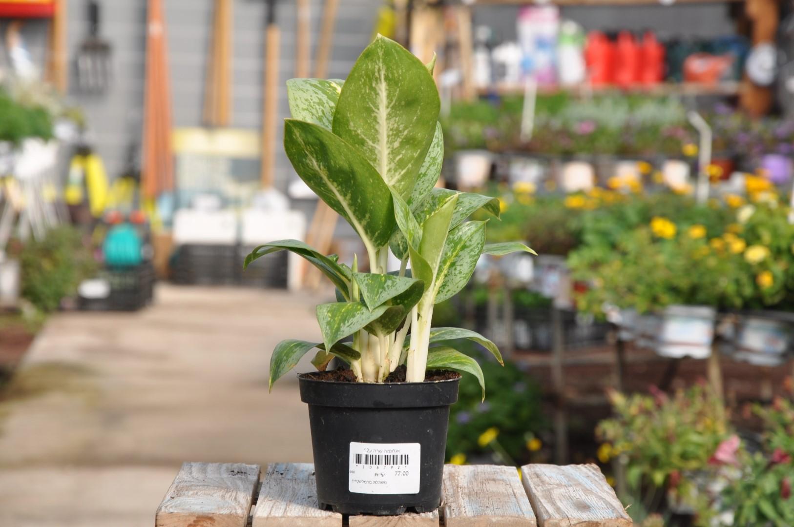 צמחים לבית. משתלה במודיעין