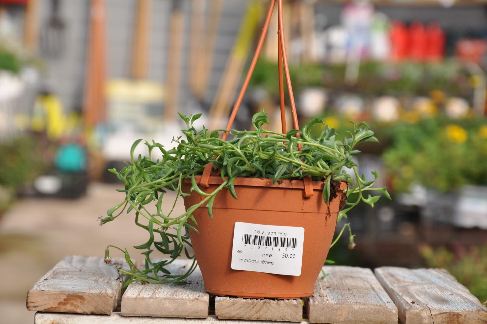 סנציו דולפין. צמחים מיוחדים לבית. צמחים נשפכים. משתלה באשדוד