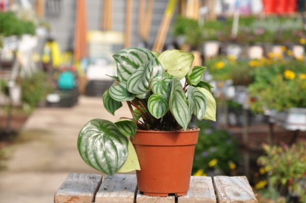 צמחים לבית. משתלת מרמלשטיין