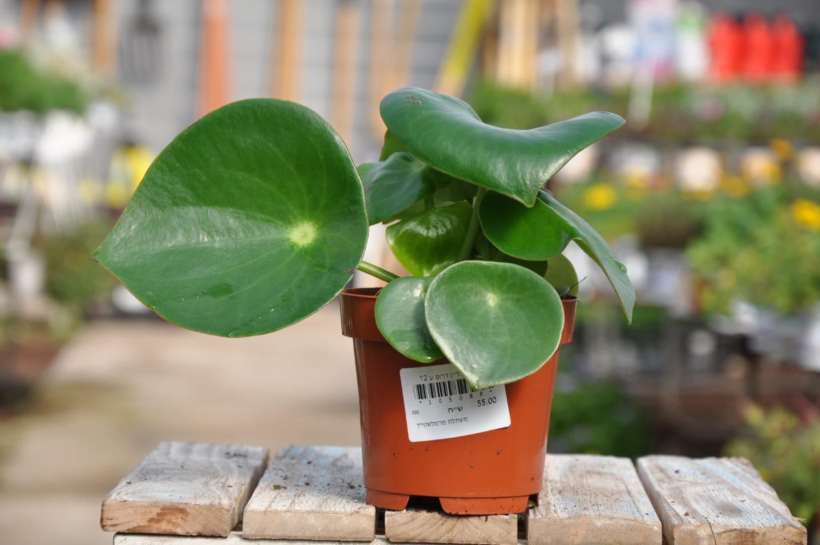 צמחים לבית, משתלת מרמלשטיין
