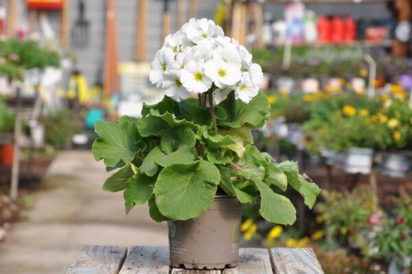 צמחים לגינה. משתלת מרמלשטיין