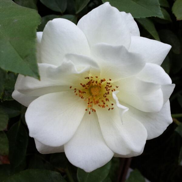 אייסברג - ורד חשוף שורש. משתלת מרמלשטיין