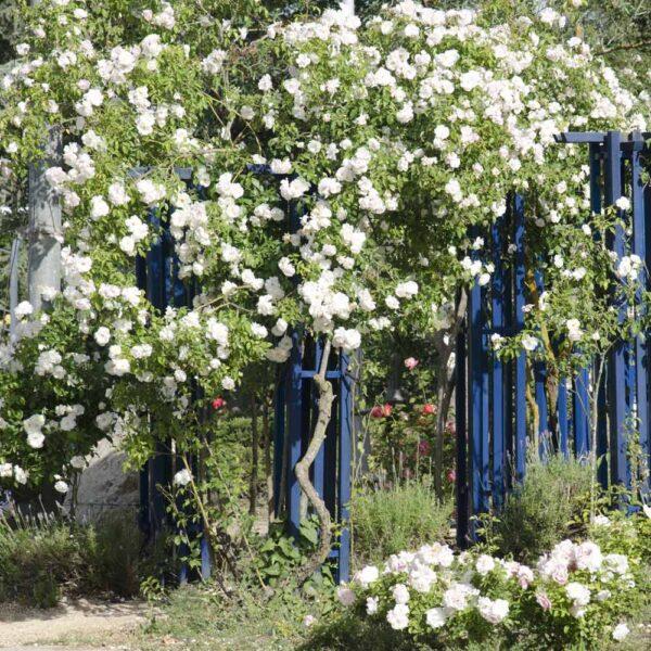 אייסברג מטפס - ורד חשוף שורש משתלה רחובות