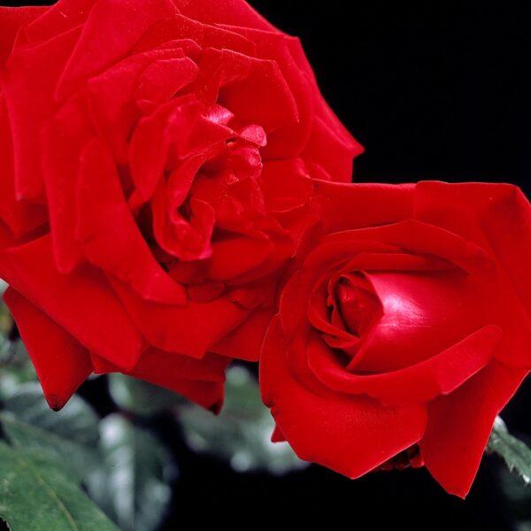 אינגריד ברגמן™ ורד חשוף שורש - משלה ביבנה