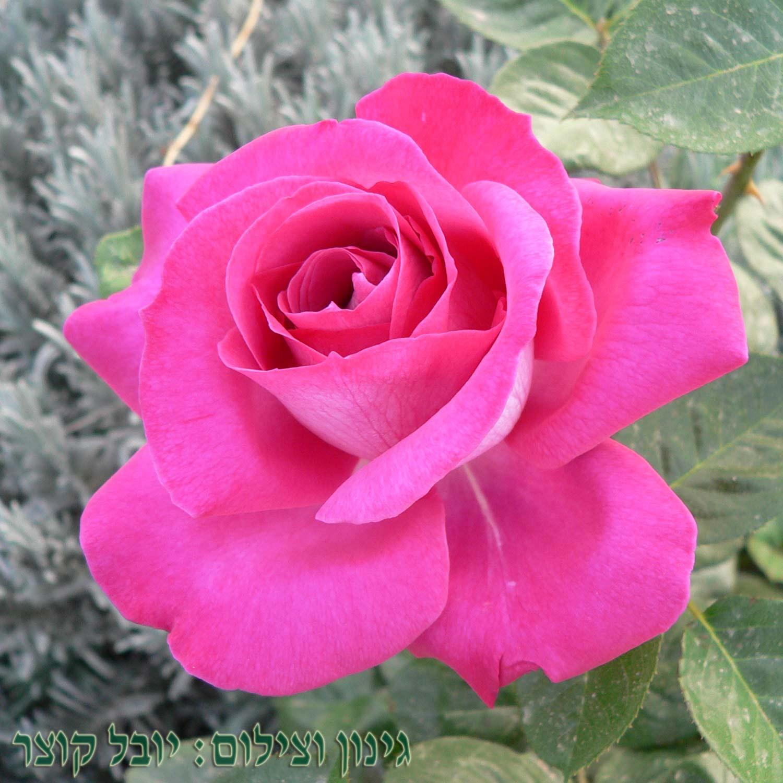 ברון דה רוטשילד - ורד חשוף שורש. משתלה ברחובות