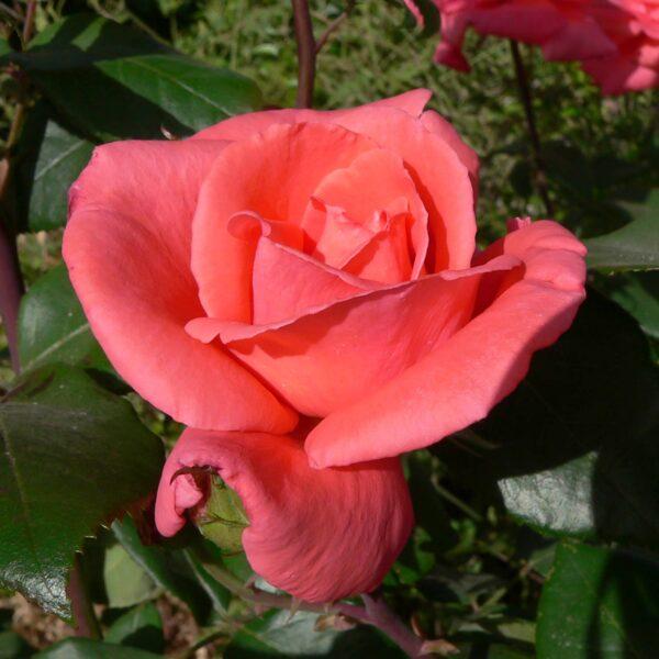 הרמוני - ורד חשוף שורש. משתלה בגן יבנה