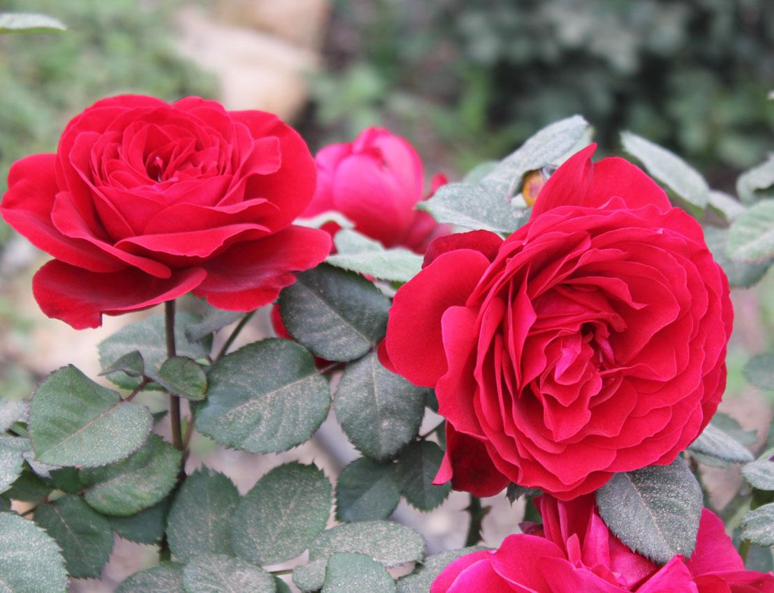 ורד מזן לוק גוד פיל בטר ™ - משתלה ברחובות