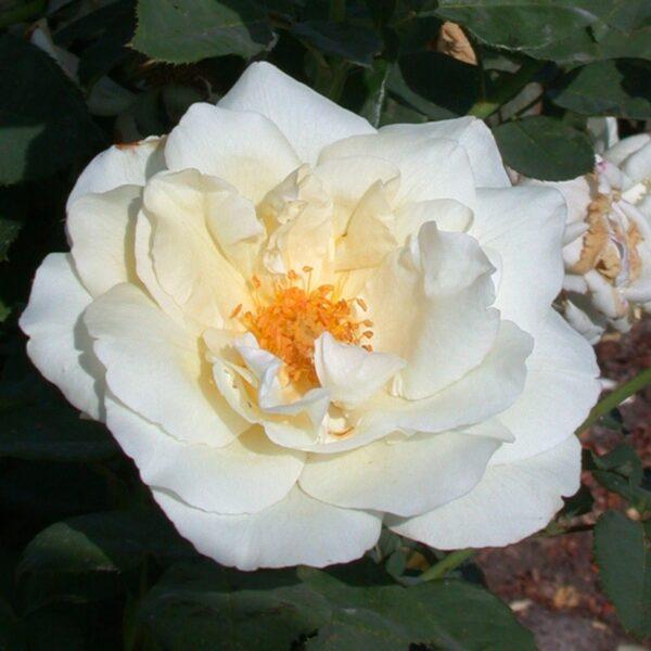 מאונט שסטה - ורד חשוף שורש. משתלה אשדוד