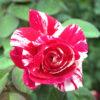 פורפל טייגר - ורד חשוף שורש. משתלה באשדוד