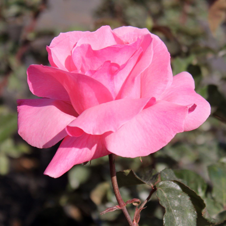 ורד חשוף שורש - קווין אליזבת - משתלה באשדוד