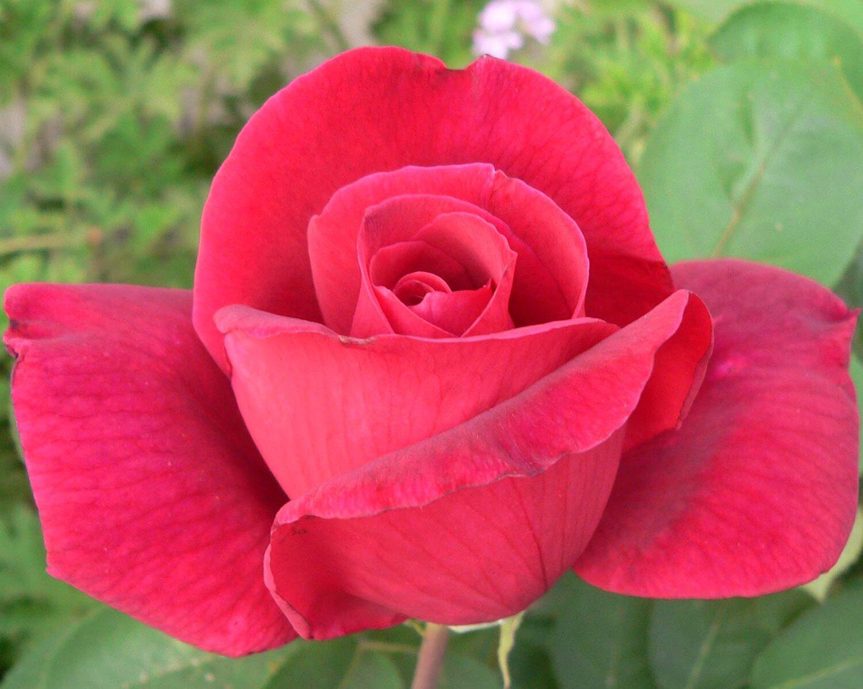 קרייזלר אימפריאל ורד חשוף שורש.משתלה ברחובות
